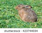 Stock photo yawning european hare lepus europaeus 423744034