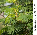 Small photo of New autumn growth on Acacia mearnsii Black wattle a fast-growing leguminous tree native to Southeastern Australia with scented pale yellow flowers in summer and long brown seed pods.
