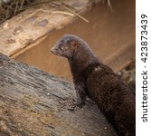 Small photo of Wild american mink hunting for food