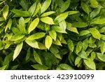 green bush. green bright leaves ... | Shutterstock . vector #423910099