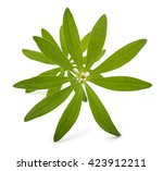 Fresh Sweet Woodruff With...