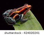 red striped poison dart frog  ...   Shutterstock . vector #424020241