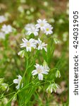 Small photo of White flowers of Stellaria holostea, the Addersmeat or Greater stitchwort