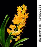 Small photo of Beautiful yellow orchid flowers closeup. Aerides lawrenceae mixed vanda