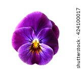 Purple Pansy Flower Isolated O...