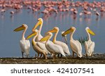 Group Of Pelicans Sits At The...