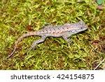Fence Lizard  Sceloporus...