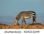 cape mountain zebra  equus... | Shutterstock . vector #424213249