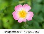 Flower Wild Rose Growing In Th...