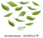 Set Of Fresh Basil Leaves...