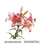 The Branch Of Pink Lilies...