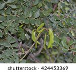 Carob Or Locust Tree  ...