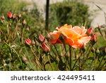 roses | Shutterstock . vector #424495411