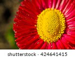 Beautiful Red Daisy Flower....