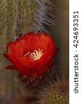 Small photo of Red orange flower blooms on Trichocereus grandiflorus cactus in the desert.