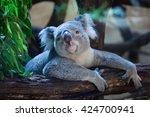 queensland koala  phascolarctos ... | Shutterstock . vector #424700941