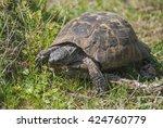Wild Terrestrial Tortoise...