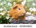 Red Guinea Pig Close Up Portrait