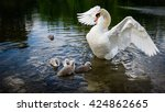 Swan Family.little Ducklings...