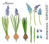 muscari flowers hand drawn... | Shutterstock .eps vector #424912537