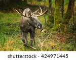Small photo of European Moose, Alces alces alces, bull (male) from front view in scandinavian forest. Autumn,Europe.