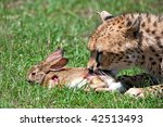 cheetah hunting for rabbit | Shutterstock . vector #42513493