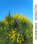 Yellow gorse bush flowers against blue sky - stock photo