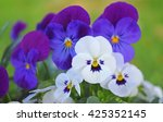 White And Purple Viola Flower ...