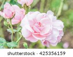 Milrose Or Pink Rose In Garden...