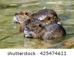 Group Of River Rats  Nutria ...