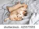 two small puppies sleeping on...   Shutterstock . vector #425577055