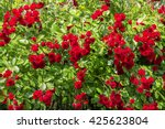 natural red rosebush background