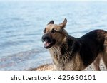 a stray dog walks on the beach  ... | Shutterstock . vector #425630101