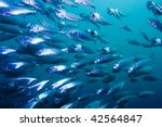 School Of Striped Mackerel...