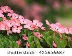 Japanese Dogwood Bush With Pink ...