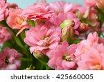 Pink Kalanchoe Flowers Closeup...