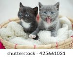 Stock photo portrait of group of young scottish cats studio shot 425661031