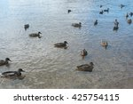many ducks swimming in lake  | Shutterstock . vector #425754115