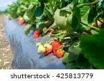 Strawberry Fields 3