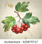 Hawthorn Berries   Watercolor...