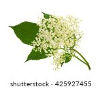Blooming Elder Flower  Sambucu...