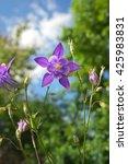 beautiful purple aquilegia.... | Shutterstock . vector #425983831