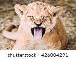 lion family in savannah | Shutterstock . vector #426004291