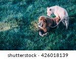 beautiful lions in savannah | Shutterstock . vector #426018139