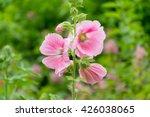 Pink Hollyhock Flower.