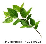 twig with green leaves isolated ... | Shutterstock . vector #426149125