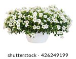 Petunia Pot Isolated On White...