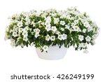 Petunia Pot Isolated On White...