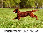 Happy Dog Irish Setter Jumping...