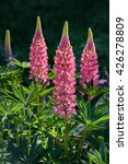 Pink Lupin Bunch In A Garden